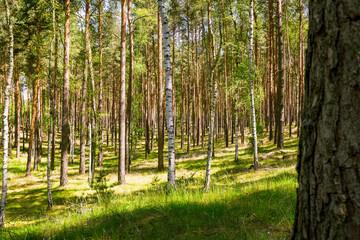 Kiefern , Birkenwald in Deutschland