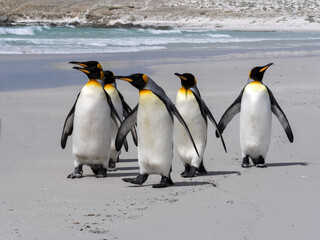 King Penguin Group, Aptenodytes patagonica, on the white sandy beach of Volunteer Point, Falklands / Malvinas