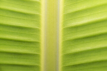 Macro banana leaves