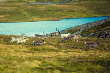 A herd of deer grazing in a meadow in Lapland