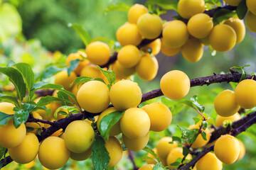 Branch of yellow plum in orchard. Abundant fruit crop