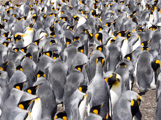Big nesting colony King penguin, Aptenodytes patagonicus, Volunteer point, Falkland Islands - Malvinas