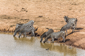 Zebras drinking at the water hole, South Africa