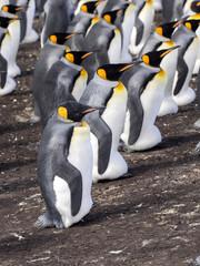 King Penguin, Aptenodytes patagonica, Heated Eggs, Volunteer Point, Falklands / Malvinas