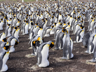 King Penguin, Aptenodytes patagonica, Heated Eggs, Volunteer Point, Falklands / Malvinas