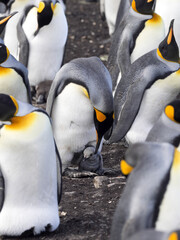 King Penguin, Aptenodytes patagonica, with young, Volunteer Point, Falklands / Malvinas