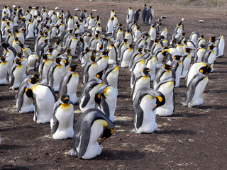 Big nesting colony King penguin, Aptenodytes patagonicus, Volunteer point, Falkland Islands - Malvinas