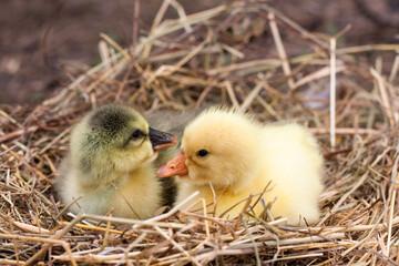 Two little domestic gosling in straw nest