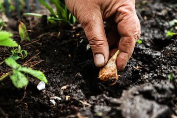 Women's hand sadi in soil-soil flower bulbs. Close-up, Concept of gardening, gardening