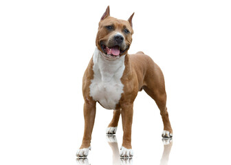 Powerfull American Staffordshire Terrier standing isolated on white background