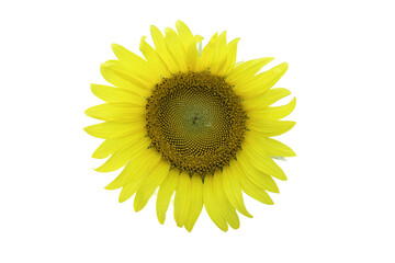 Bright yellow sunflowers isolated on white background