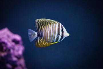 Sailfin Tang fish