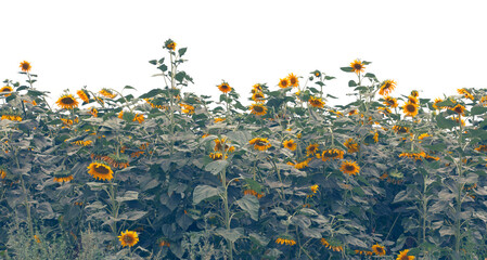 Sunflowers field over white