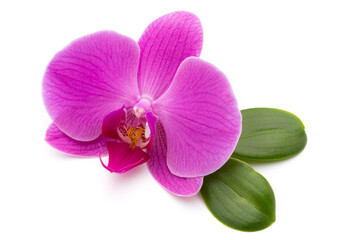 Pink orchid on the white background.
