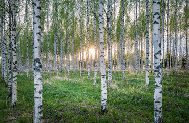 Scenic landscape with many birch tree and sun rays at summer evening
