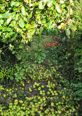 Autumn apples in Rural Garden