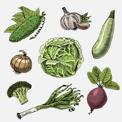 set of hand drawn, engraved vegetables, vegetarian food, plants, vintage looking cabbage, cucumber and zucchini, beetroot, leeks, onion and garlic.