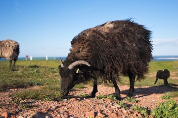 Black sheeps and lambs of primitive breed with horns and long wool are grazing on the grazing land or pasture in the island Helgoland in North sea. Picture taken in cold windy sunny morning. Wall mural