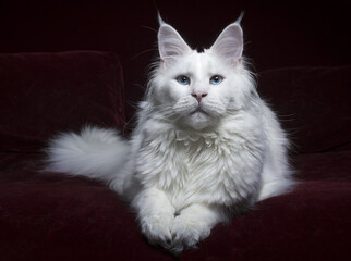 White Maine Coon cat laying on red sofa