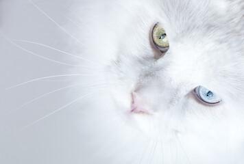 Zamknij się z białego dziwne eyed kot Maine Coon patrząc w górę