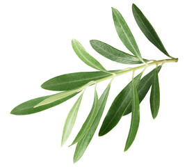 branch with olive leaves isolated on a white background