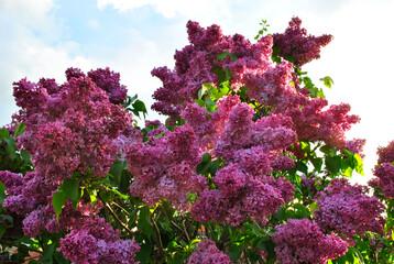 Dense lilac