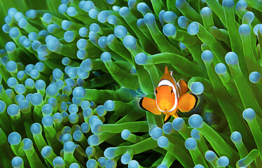 In de dag Onder water Clownfish, Amphiprion ocellaris