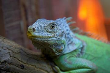 Iguana on a blurred background