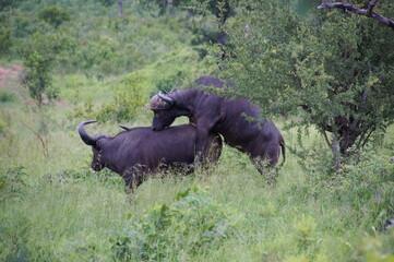 mating buffalos