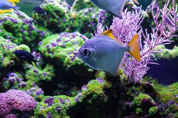 Silver moonfish among corals