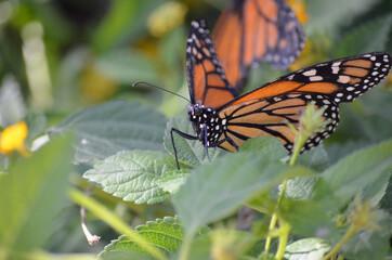 Monarch butterfly sitting on plants