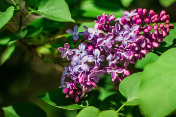 Foto op Aluminium Lilac the pink lilac in the summer day