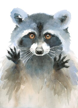 Watercolor Raccoon Begging Look Hand Painted Illustration on white background