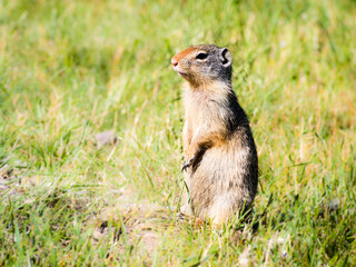 Columbian ground squirrel in Glacier National Park, USA