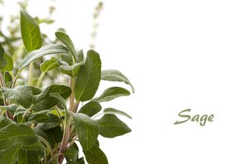 Spice plant sage
