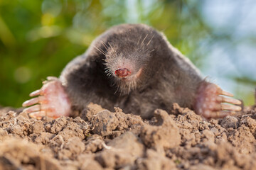 Portrait of Wild Mole on a Molehill