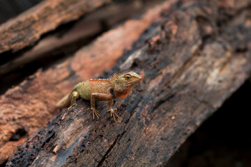 Chameleon in Thailand, Reptile in Thailand