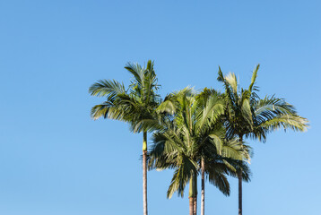 Alexandra palm trees against blue sky with copy space