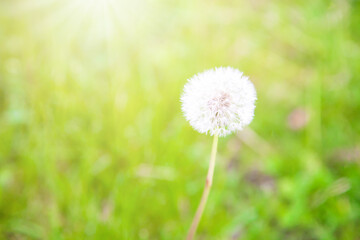 Fluffy dandelion flower with sunlight in summer.