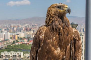 Eagle over Ulaanbaatar