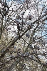 many pigeons on a tree