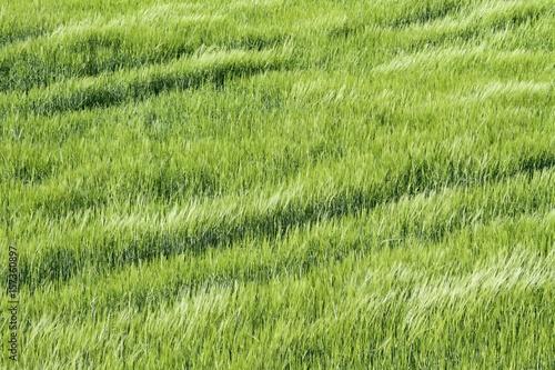 Culture de c r ales en plein champ photo libre de droits sur la banque d 39 images - Culture haricot vert plein champ ...