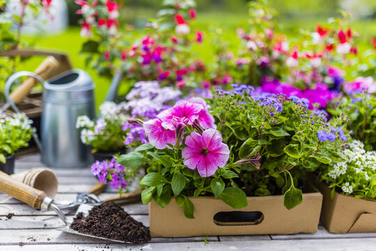 Seedlings of colorful flowers for planting in the garden.