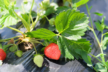strawberry plants with irrigation system