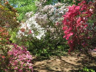 ツツジが咲き誇る野田市の清水公園(ツツジ園)