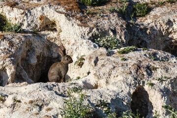 Oryctolagus cuniculus. Conejo común, europeo. Madrigueras.
