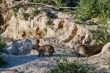 Oryctolagus cuniculus. Conejos comunes, europeos. Madrigueras.