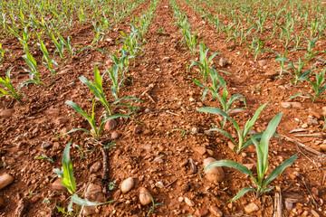 Campo sembrado de plantas de maíz.