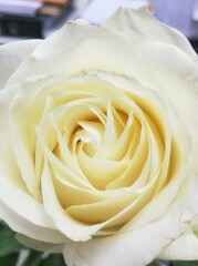 Close up picture of white rose