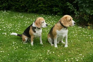 zwei beagles hunde sitzen auf einer blumenwiese